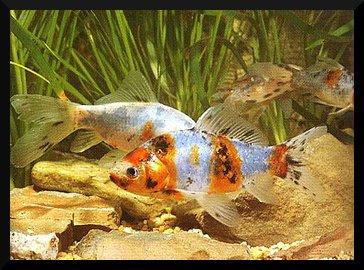Les poissons d'eau froide