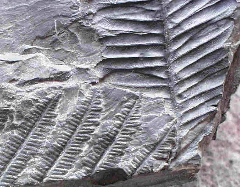 Fossiles de végétaux bien conservés.