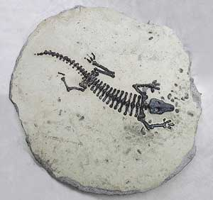 Squelette de lézard presque totalement conservé, seul manque un bout de la patte arrière.
