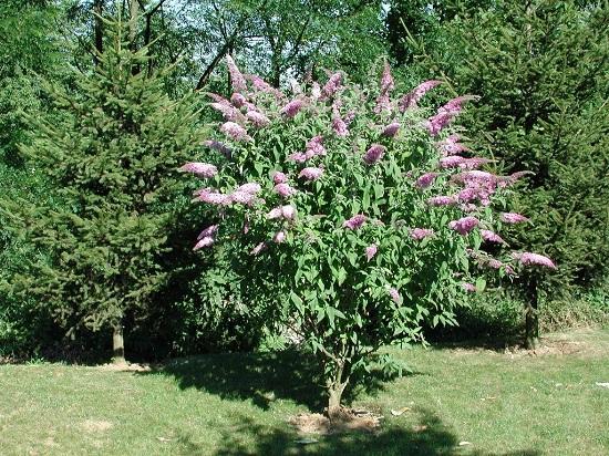 l arbre aux papillons ou buddleia davidii magazine cheval monchval mag bien plus qu 39 un. Black Bedroom Furniture Sets. Home Design Ideas