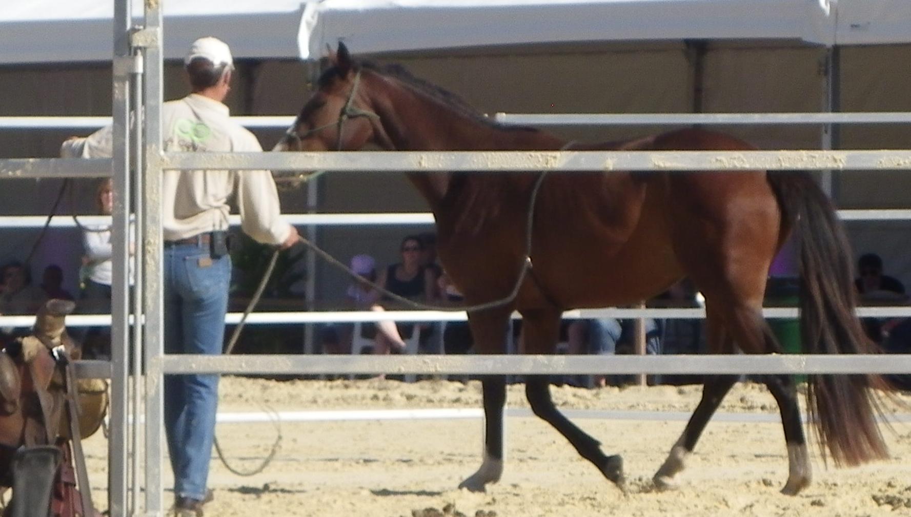 debourrer un cheval de 8 ans
