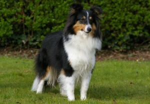 Sheltie robe Tricolore