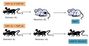 Compatibilité liée au CMH