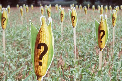 Les OGM : dangereux ou pas ? 2012 n'aura pas réussi à trancher !