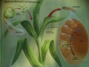 OGM produisant un insecticide