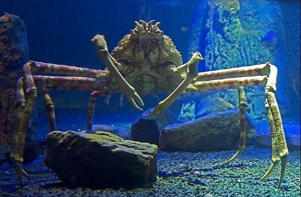 Crabe araignée géant du Japon