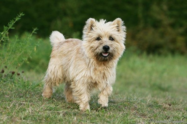 Cairn terrier de couleur sable