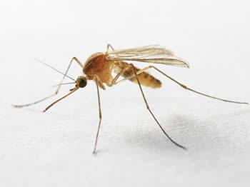 moustique qui permet d'être contaminé