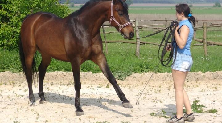 Le travail du jeune cheval
