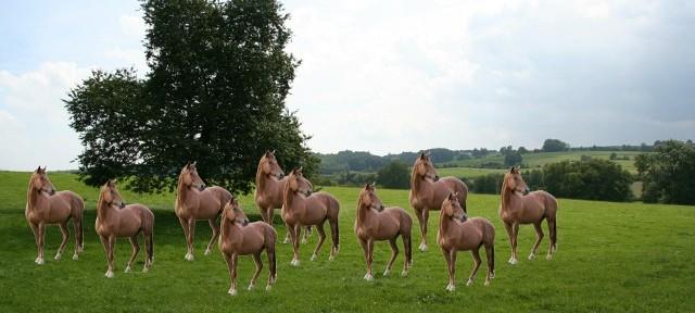 Des chevaux clonés participent aux courses