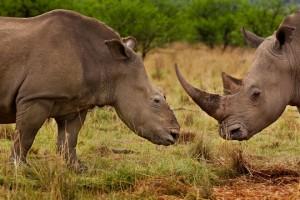 braconnage rhinocéros