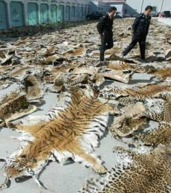 braconnage tigres