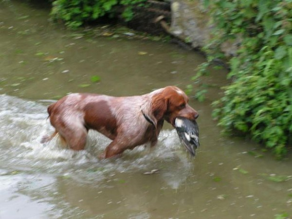 épagneul breton en train de chasse