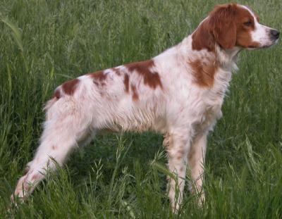 épagneul breton bicolore