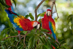 2 scarlet macaws (ara macao) - Limonal/Costa Rica