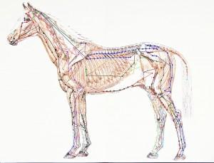 Les points d'inflexion et les méridiens dans l'acupuncture équine