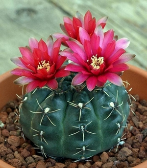 Un cactus  Gymnocalycium