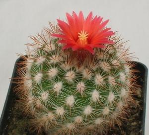 Un cactus Parodia