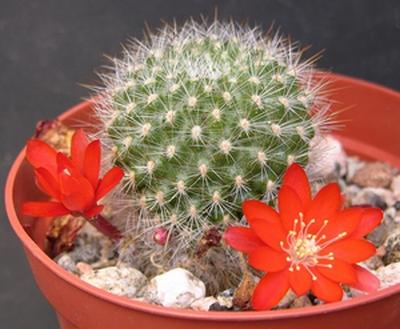 Un cactus Rebutia