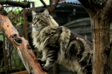 maine coon de couleur brown tabby