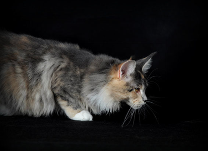 maine coon tabby tortie et blanche