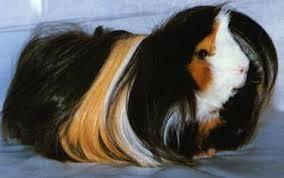 Cochon d'inde poil long