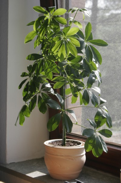 Schefflera_Actinaphylla