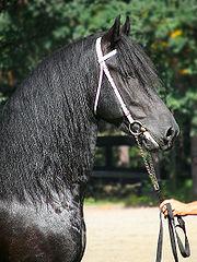 Le Frison, la « perle noire » des Pays-Bas
