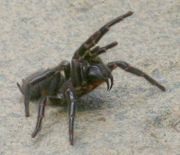 Une petite araignée qui peut faire beaucoup de mal