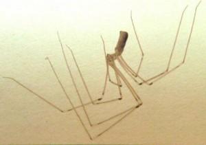 L'araignée de maison