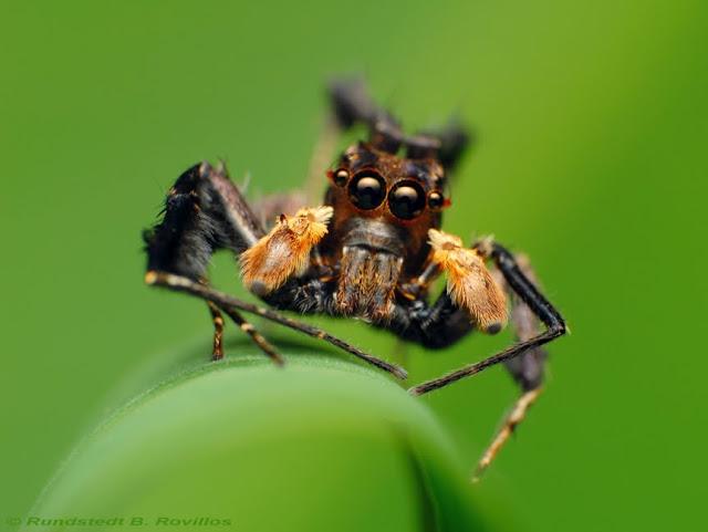 Une petite saltique qui ne mange que d'autres araignées