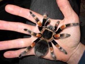Une araignée en captivité