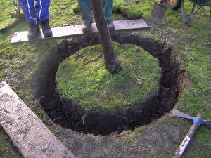 Replanter un arbre dans son jardin en réaménageant sa cour