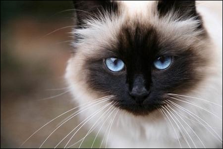 Le chat aux yeux de saphir