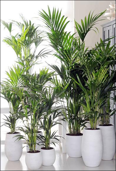 l'areca, une plante dépolluante