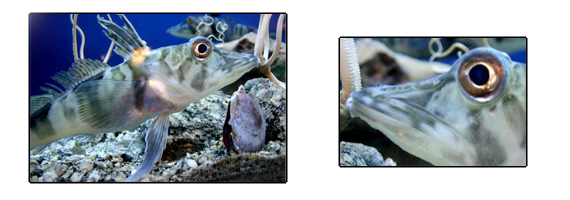poisson antarticque