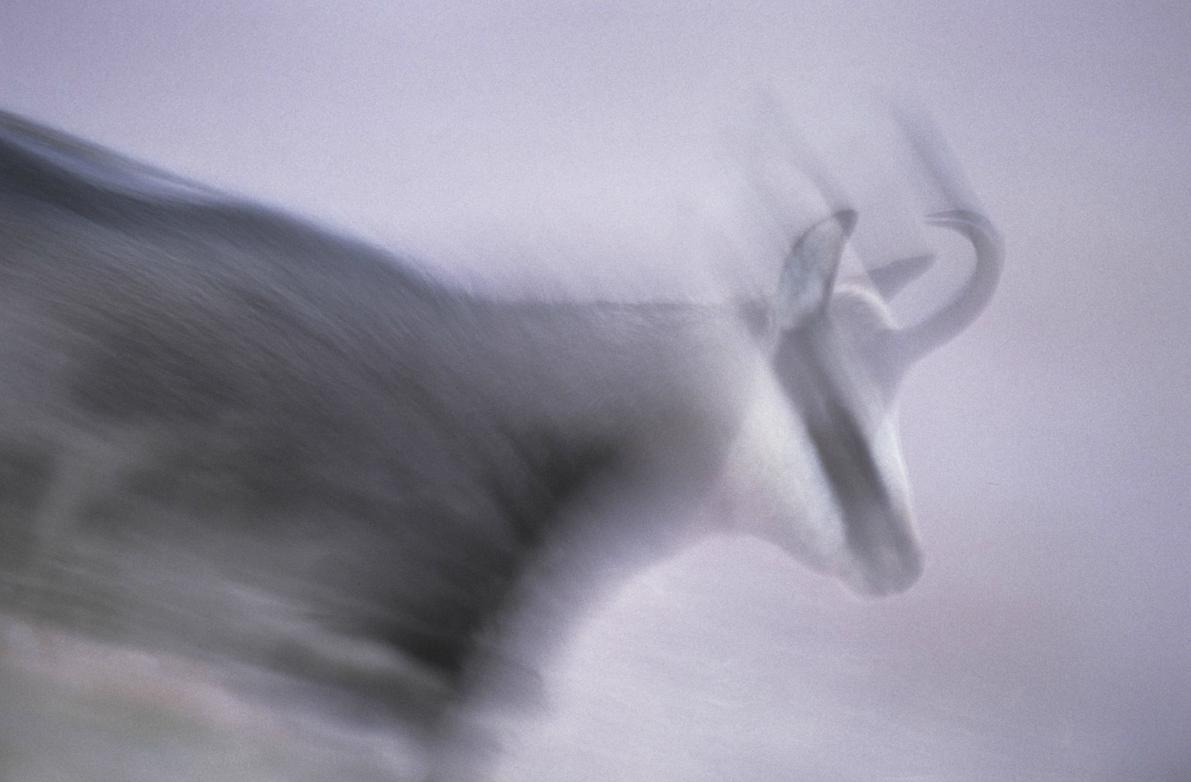 Photographie d'un Chamois par Vincent Munier