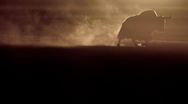 Photographie d'un Yak sauvage par Vincent Munier