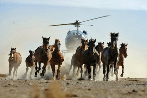 Photos chasse aux mustangs