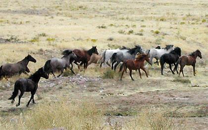 Les Mustangs, toujours plus nombreux dans l'Ouest américain