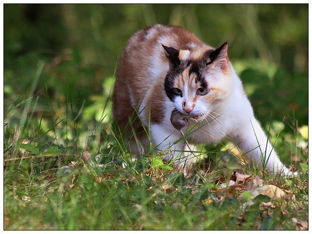 Le chat, un animal carnivore