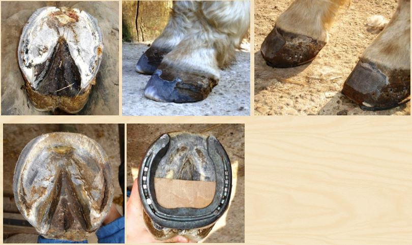 Evolution fourbure cheval 5