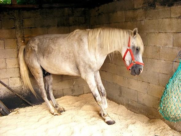 Fourbure cheval