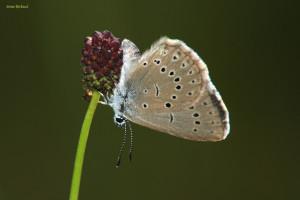 papillon azuré de la sanguisorbe