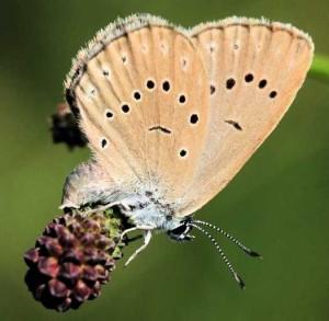 la femelle pond son oeuf sur une plante