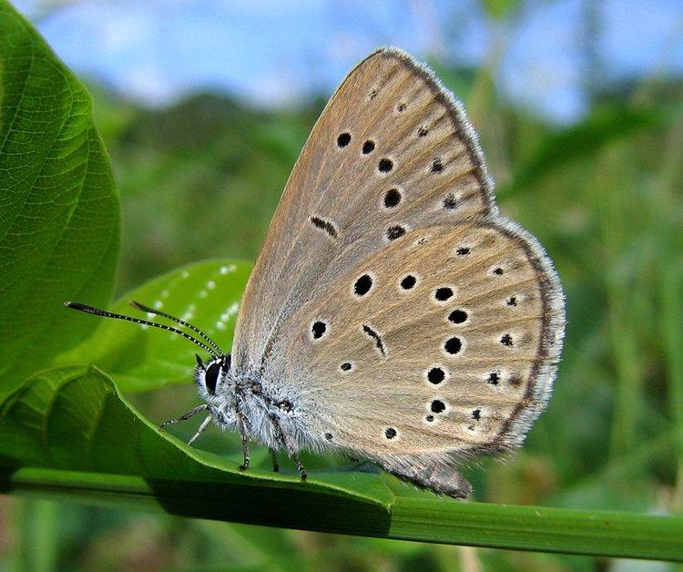 L'azuré de la sanguisorbe (Maculinea teleius)