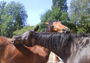 les chevaux se grattent mutuellement