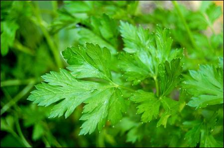 Une plante aromatique à la croissance rapide