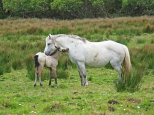 Jument Connemara et son poulain