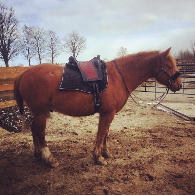 Voici un cheval canadien